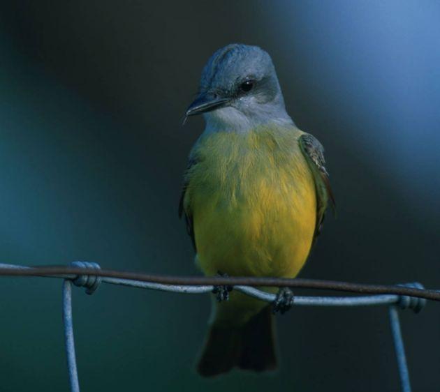 Western_kingbird