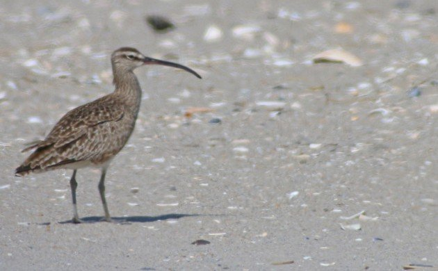 Whimbrel in the Rockaways
