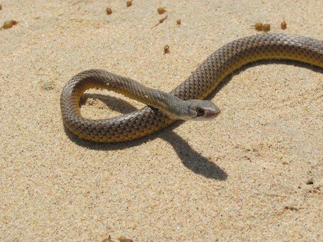 Whip Snake (2)