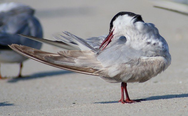 Whiskered Tern preening