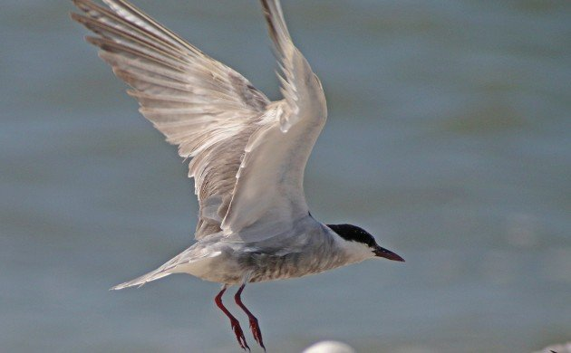 Whiskered Tern taking off