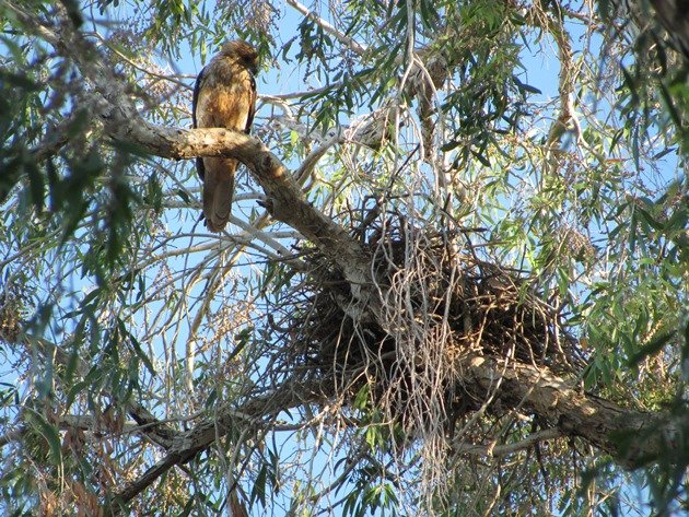 Whistling Kite & nest