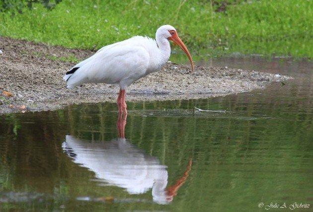 White Ibis Julie Gidwitz