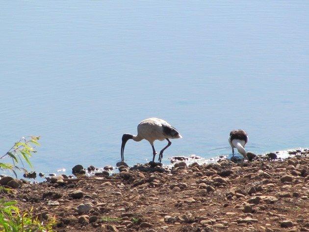 White Ibis & Radjah Shelduck