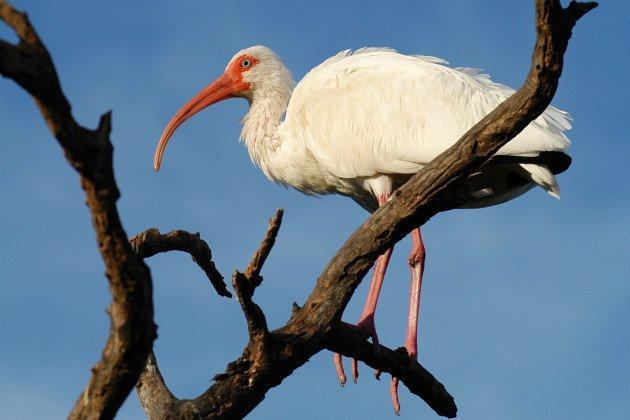 White Ibis (Eudocimus albus) by David J. Ringer