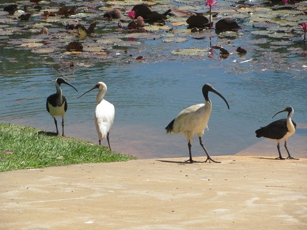 White & Straw-necked Ibis & Royal Spoonbill