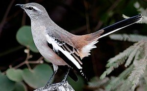 White-banded Mockingbird