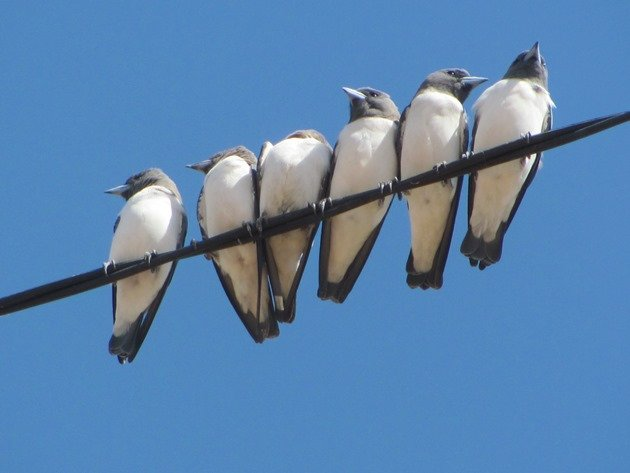 White-breasted Woodswallows (4)