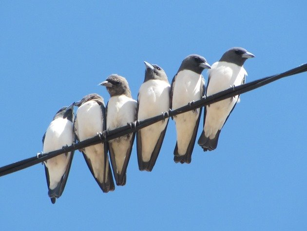 White-breasted Woodswallows (5)