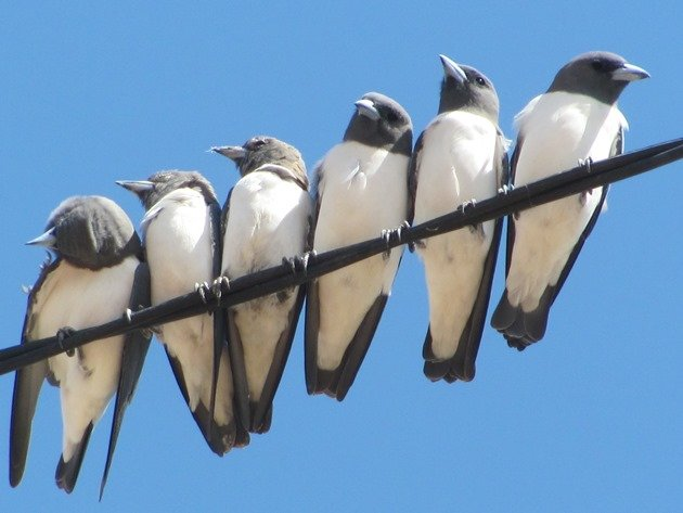 White-breasted Woodswallows (6)