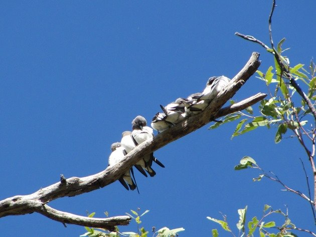 White-breasted Woodswallows (8)