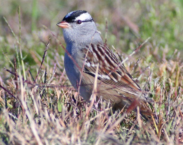 White-crowned Sparrow adult