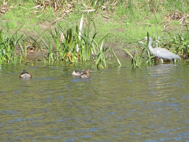 White-faced Heron & Australasian Grebes