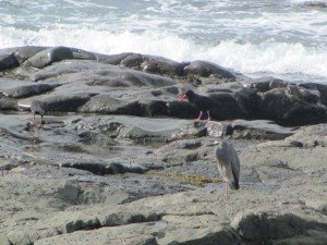 White-faced Heron & Sooty Oystercatchers
