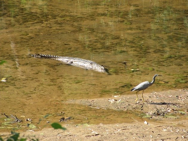 White-faced Heron & crocodile