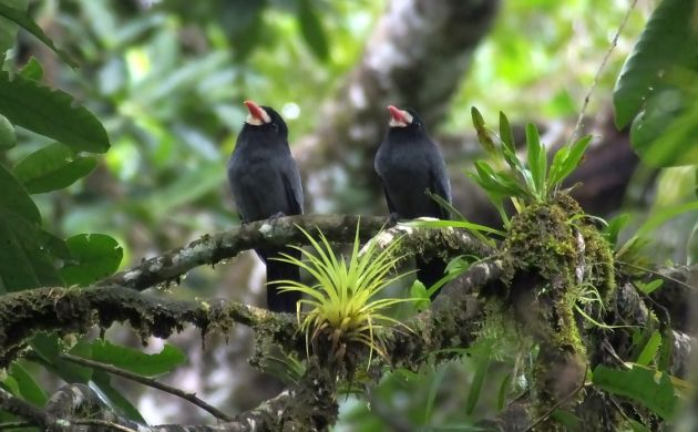 White-fronted Nunbirds
