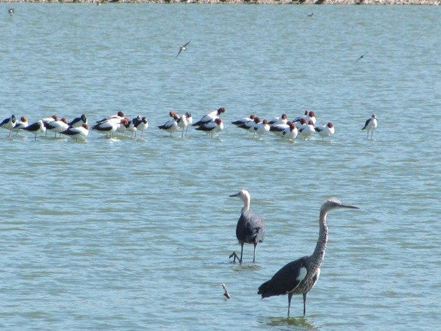 White-necked Herons & Red-necked Avocet