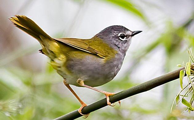 White-rimmed Warbler