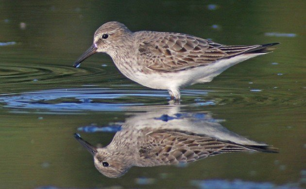 White-rumped Sandpiper with reflection