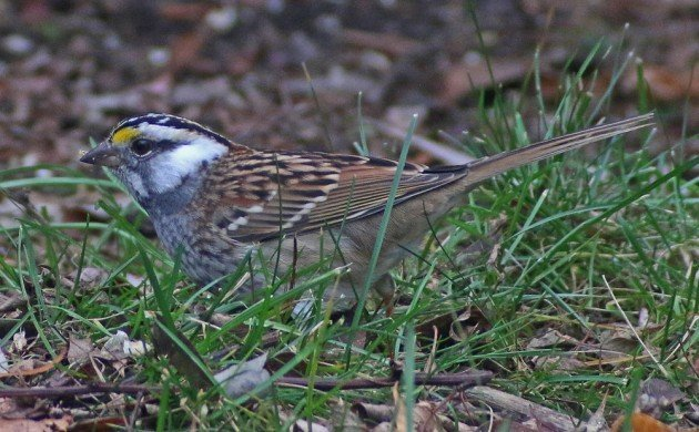 White-throated Sparrow leucistic