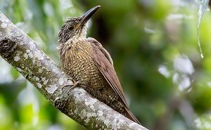 White-throated Woodcreeper