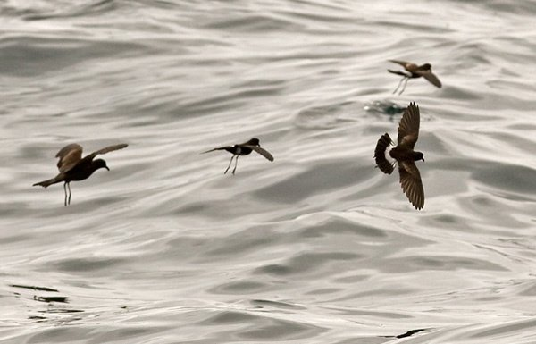 White-vented Storm-petrel_with Markham´s S_ready