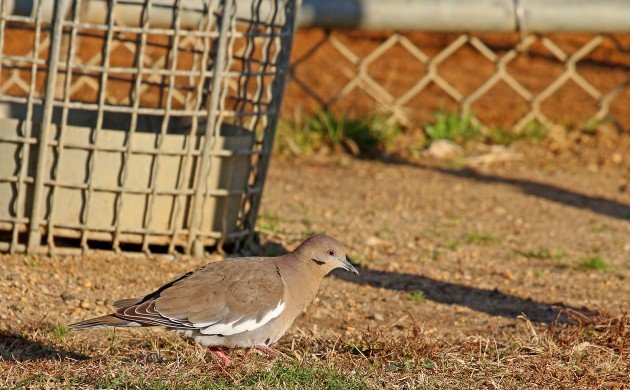White-winged Dove as a trash bird