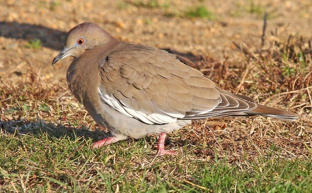 White-winged Dove at Fort Tilden