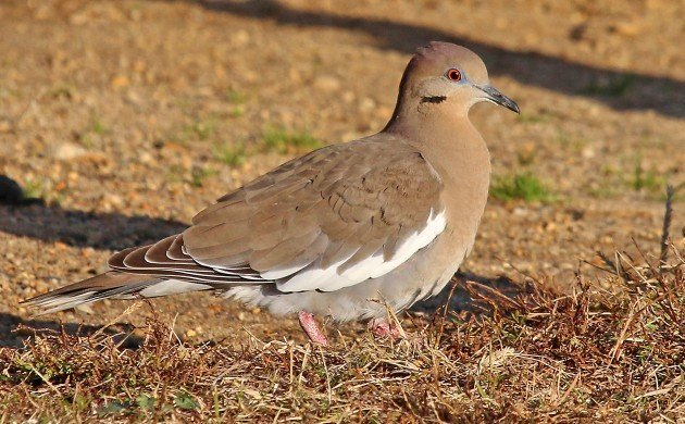 White-winged Dove in Queens