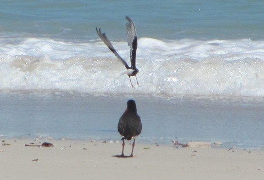White-winged black Tern and Pied Oystercatcher