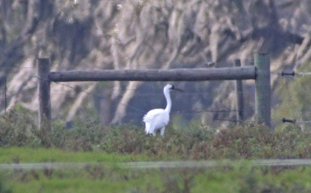 Whooping Crane in Florida