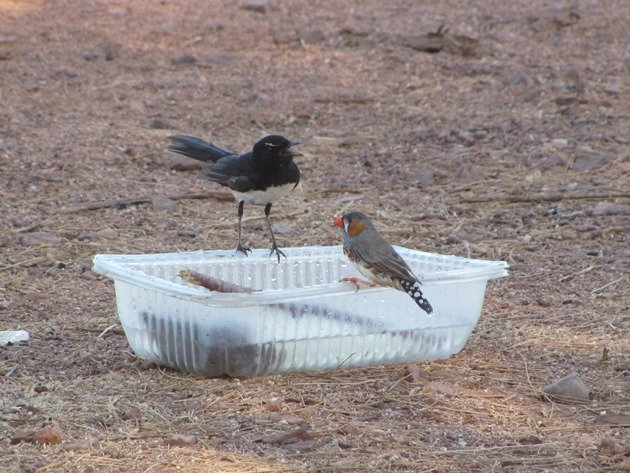Willie Wagtail and Zebra Finch (2)