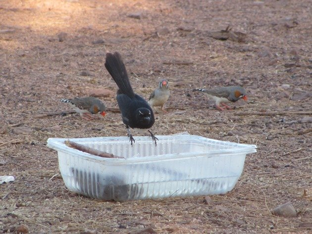 Willie Wagtail and Zebra Finch