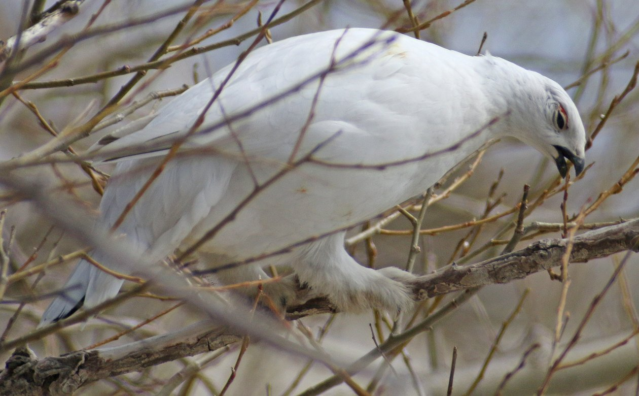 Willow Ptarmigan eating willow buds