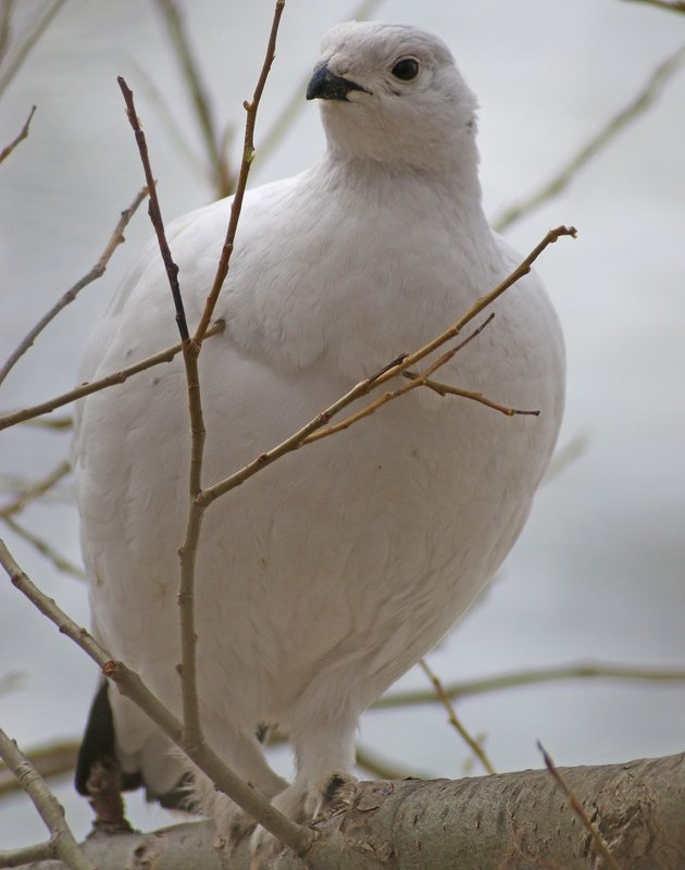 Willow Ptarmigan in New York