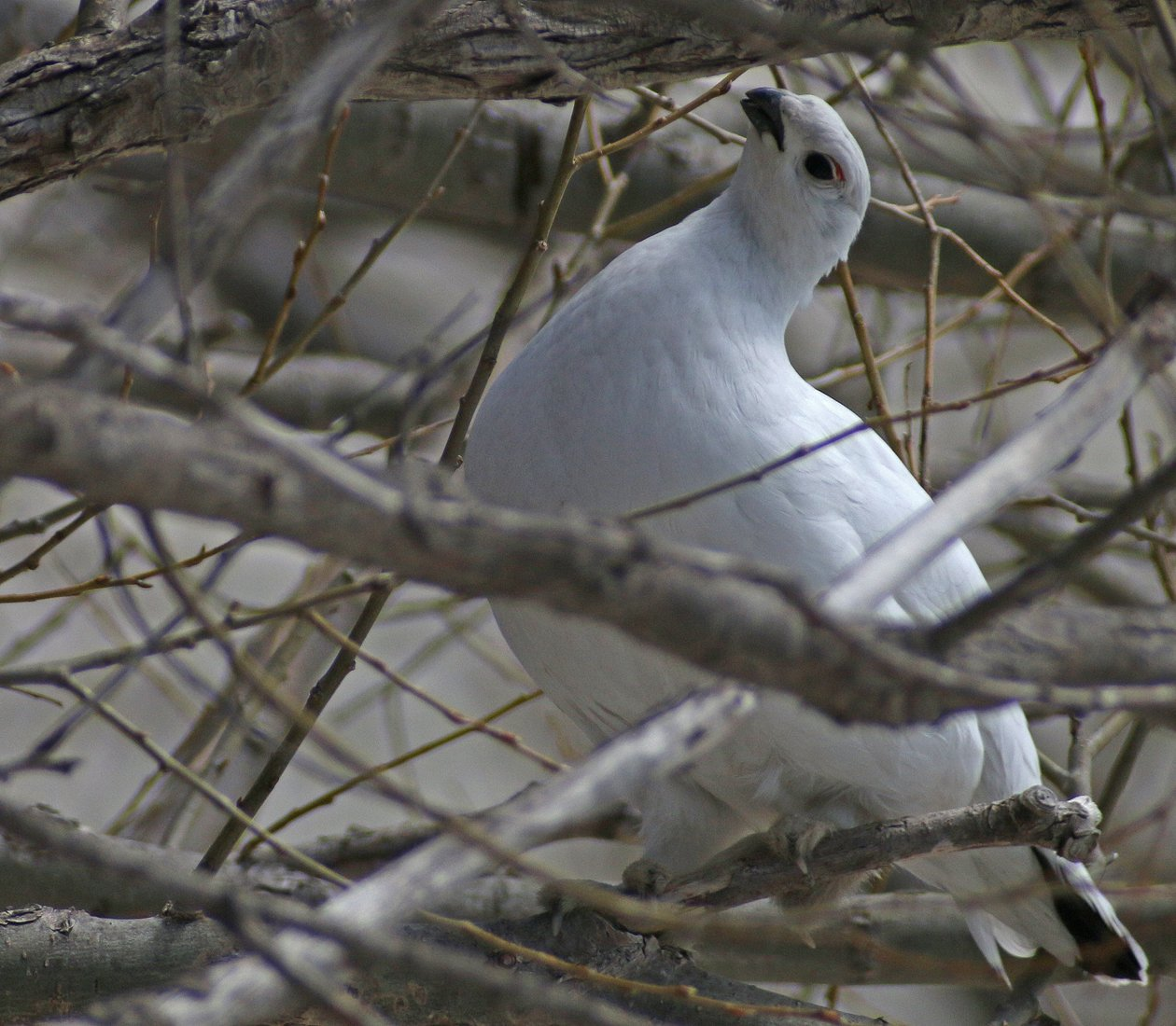 Willow Ptarmigan on Point Peninsula