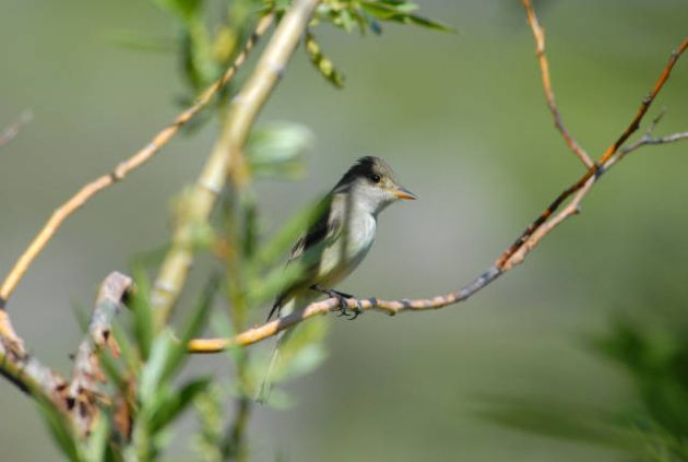 Willow Flycatcher by Dave Menke