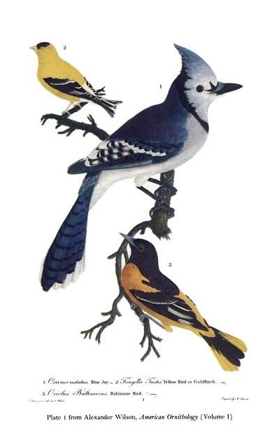 Wilson plate illustrating an American Goldfinch, Blue Jay, and Baltimore Oriole