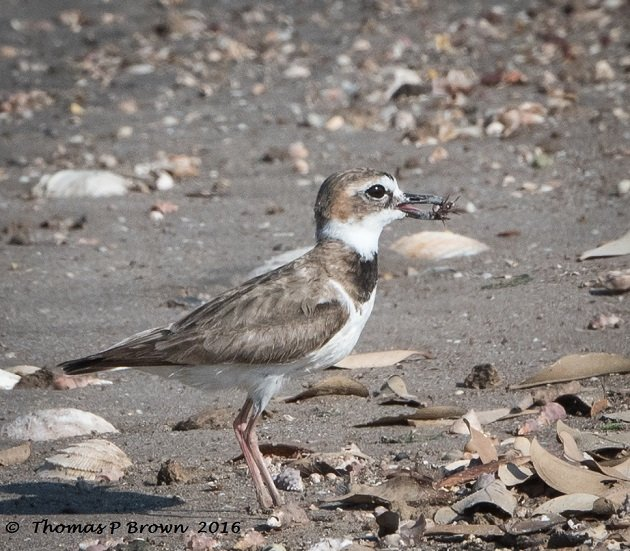 Wilsons Plover with Fiddler Crabs