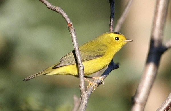 What's in a Name: Wilson's Warbler