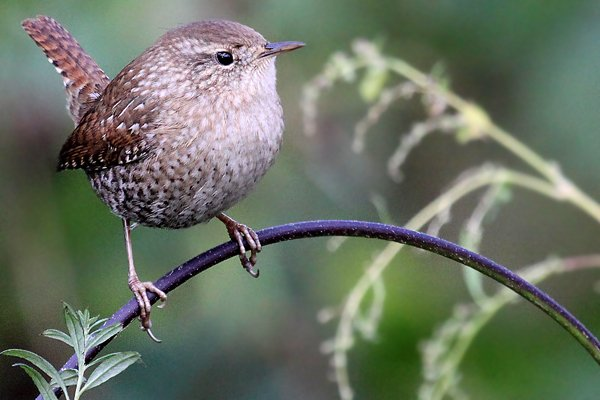 Winter-Wren-4