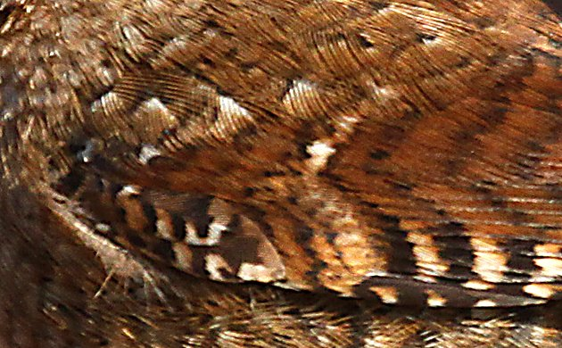 Winter Wren feather detail