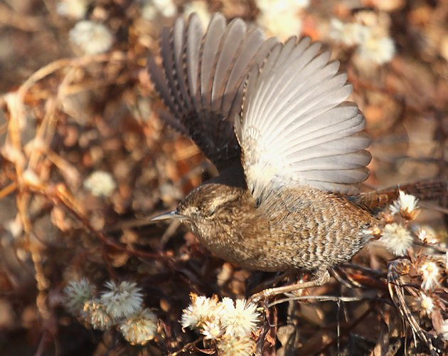 Winter Wren with its wings open