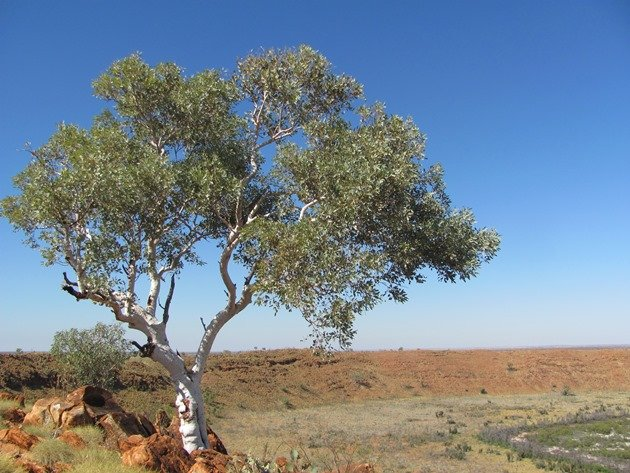 Wolfe Creek Crater-big tree