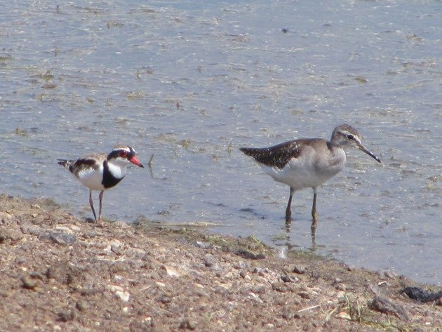 Wood Sandpiper & Black-fronted Dotterel