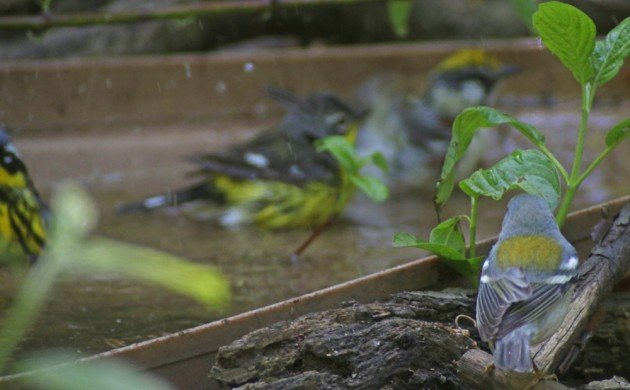 Wood-Warblers bathing