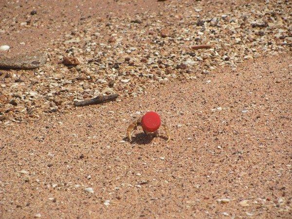 Xmas Hermit Crab (3)