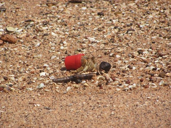Xmas Hermit Crab's new friend