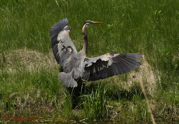 YYZ 22Jun15 Great Gray Heron 01