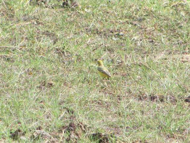 Yellow Chat-male (2)